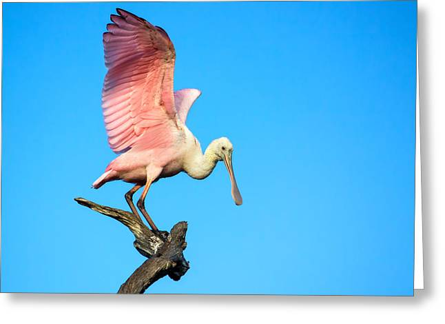 Spoonbill Flight Greeting Card