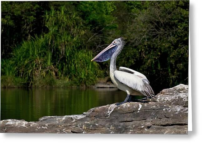 Spot-billed Pelican Greeting Card by K Jayaram