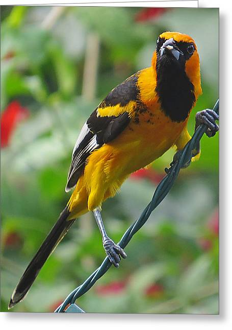 Spot Breasted Oriole Greeting Card