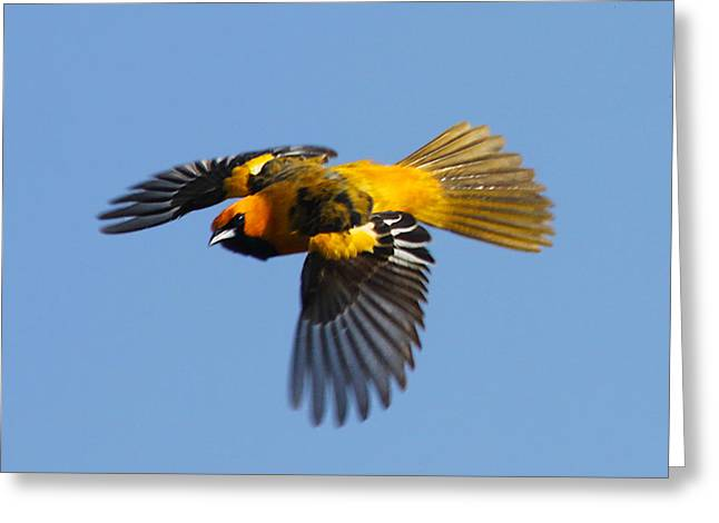 Spot Breasted Oriole In Flight Greeting Card