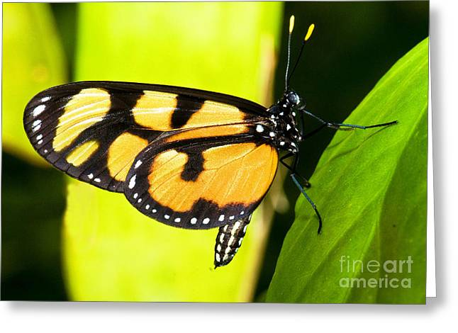 Spotted Amberwing Butterfly Greeting Card by Millard H. Sharp
