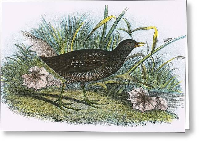 Spotted Crake Greeting Card by English School