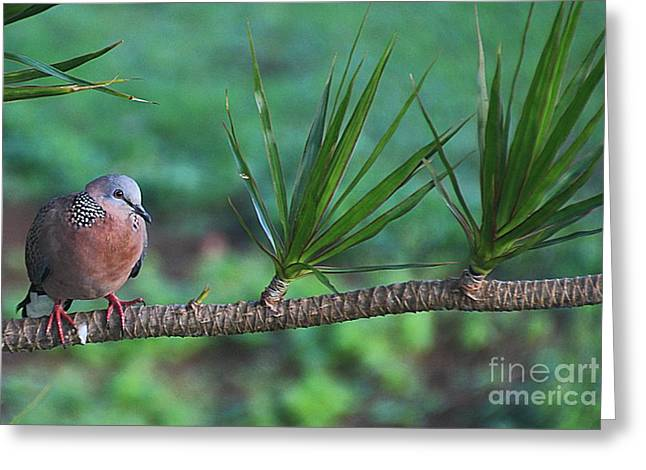 Spotted Dove Greeting Card by Elizabeth Winter