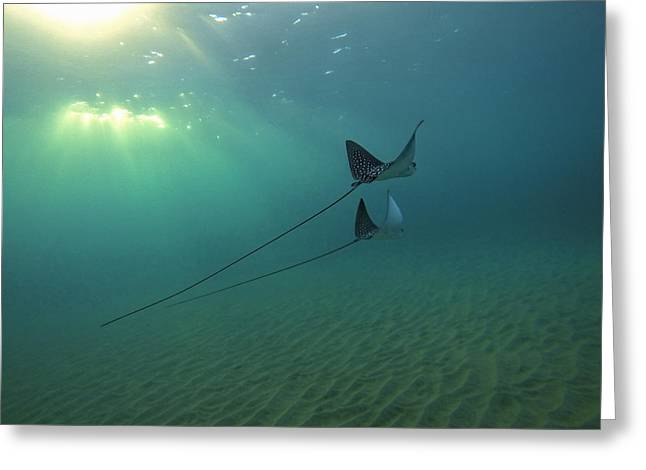 Spotted Eagle Rays During Sunset Greeting Card