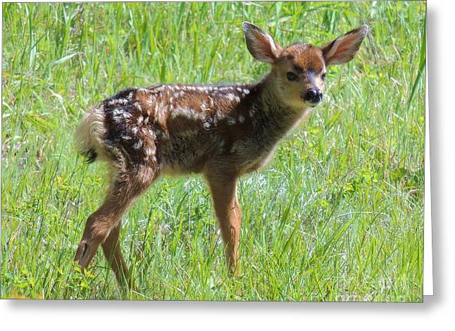 Spotted Fawn  Greeting Card