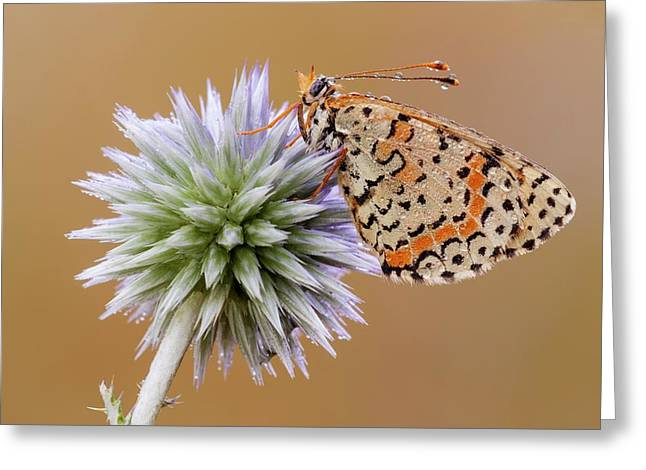 Spotted Fritillary Greeting Card