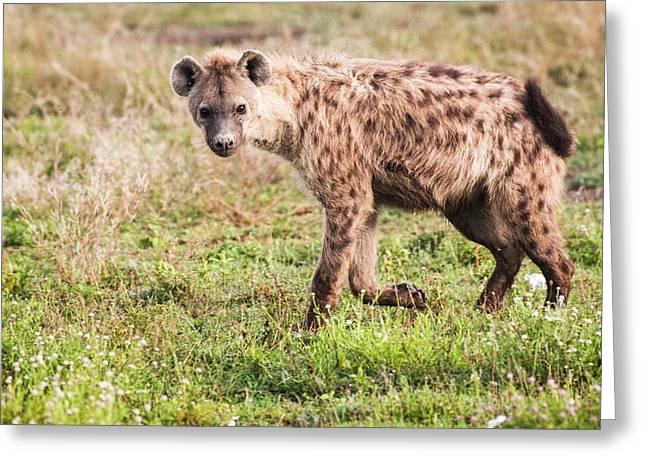 Spotted Hyena (crocuta Crocuta) Greeting Card