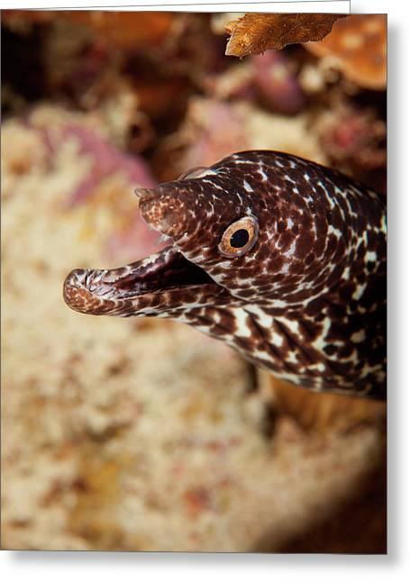 Spotted Moray Eel Off Bonaire, N Greeting Card by James White