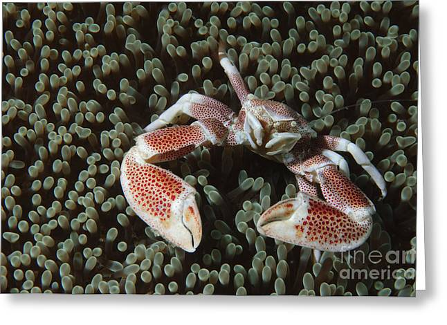 Spotted Porcelain Crab In Anemone Greeting Card