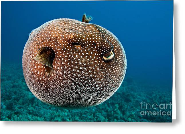 Spotted Pufferfish Greeting Card by David Fleetham