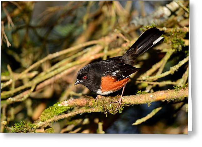 Greeting Card featuring the photograph Spotted Towhee by Kathy King