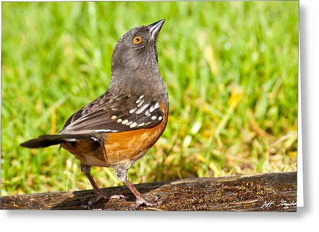 Spotted Towhee Looking Up Greeting Card