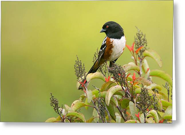 Spotted Towhee Greeting Card