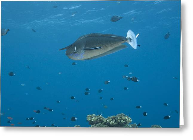 Spotted Unicornfish Swimming In Fiji Greeting Card by Terry Moore