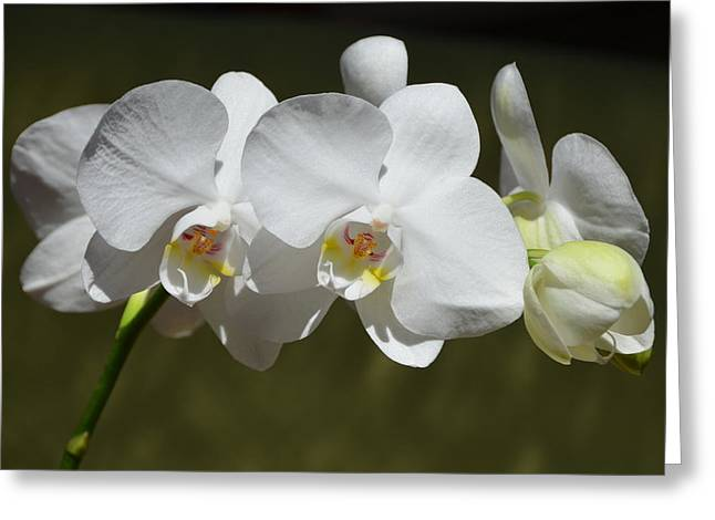 Spray Of Beautiful White Orchids Greeting Card by Carla Parris