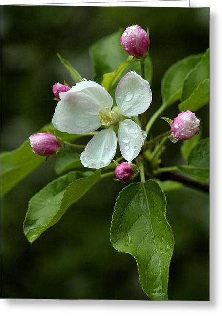 Spring Apple Blossom Encircled By Pink Buds Greeting Card by Gene Walls