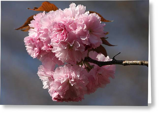 Spring Beauty Greeting Card by Vadim Levin