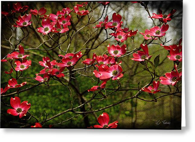 Greeting Card featuring the photograph Pink Spring Dogwood Blooms  by James C Thomas
