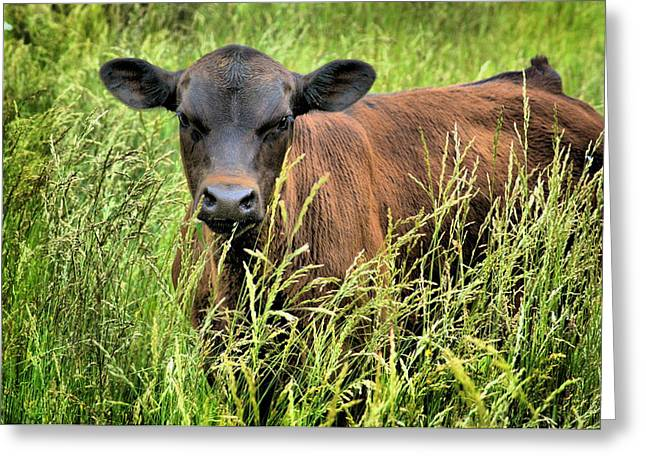 Spring Calf In Grassy Pasture Greeting Card by Virginia Folkman