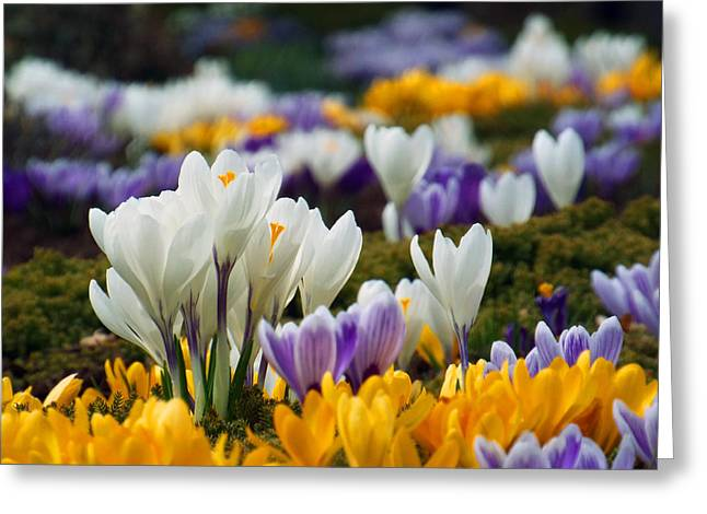 Greeting Card featuring the photograph Spring Crocus by Dianne Cowen