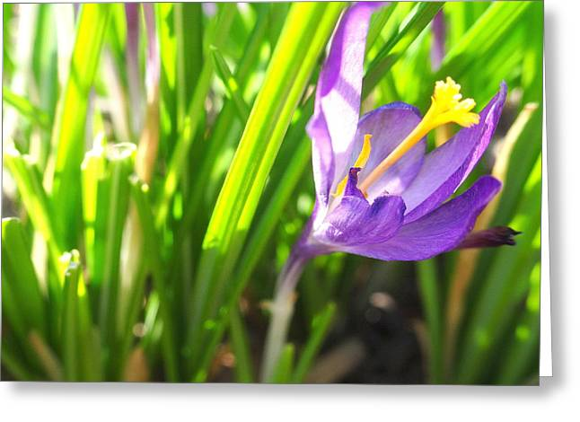 Spring Crocus Greeting Card