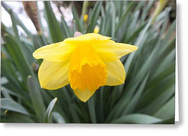 Spring Daffodil Greeting Card