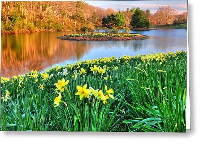 Spring Daffodils At Laurel Ridge-connecticut  Greeting Card