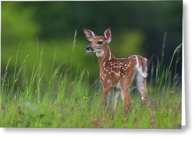 Spring Fawn Greeting Card