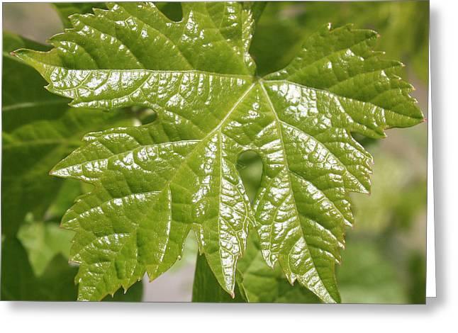 Spring Grape Leaf Greeting Card