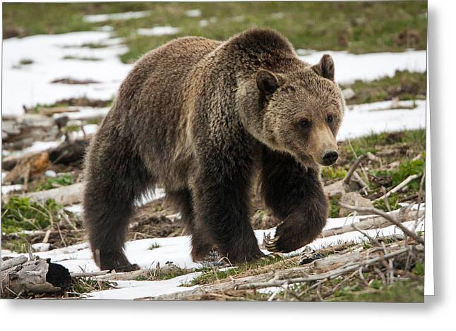 Greeting Card featuring the photograph Spring Grizzly Bear by Jack Bell