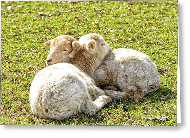 Spring Lambs Greeting Card by Thomas R Fletcher