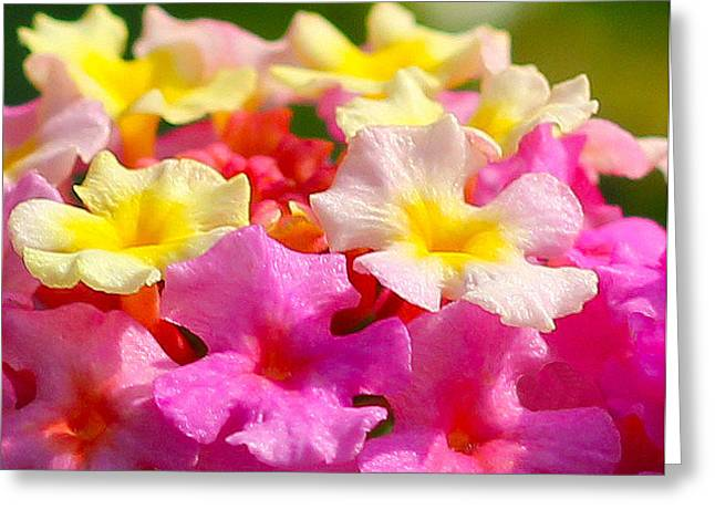 Spring Lantana Greeting Card by James Hammen