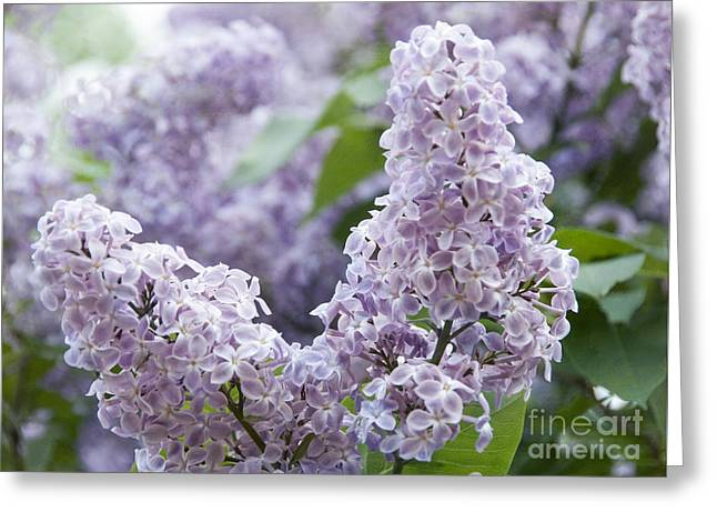 Spring Lilacs In Bloom Greeting Card by Juli Scalzi