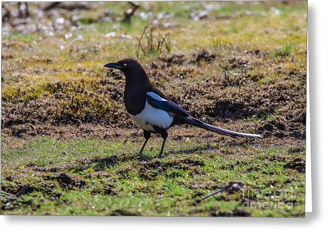 Spring Magpie Greeting Card by Mitch Shindelbower