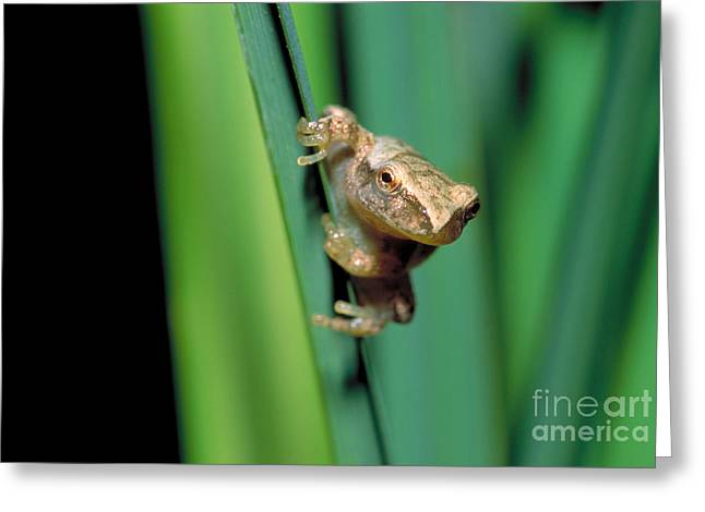 Spring Peeper Frog Greeting Card by Larry West