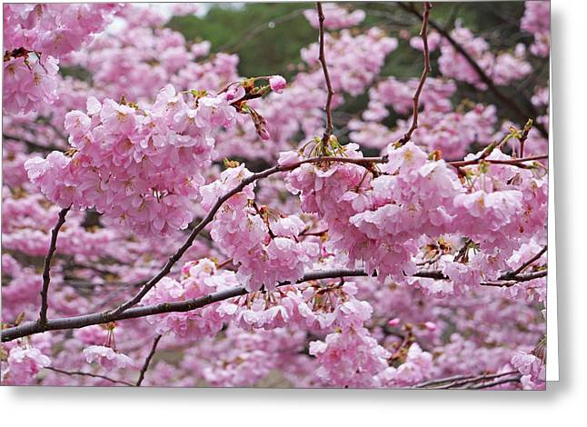 Spring Pink Tree Blossom Flowers Prints Greeting Card by Baslee Troutman