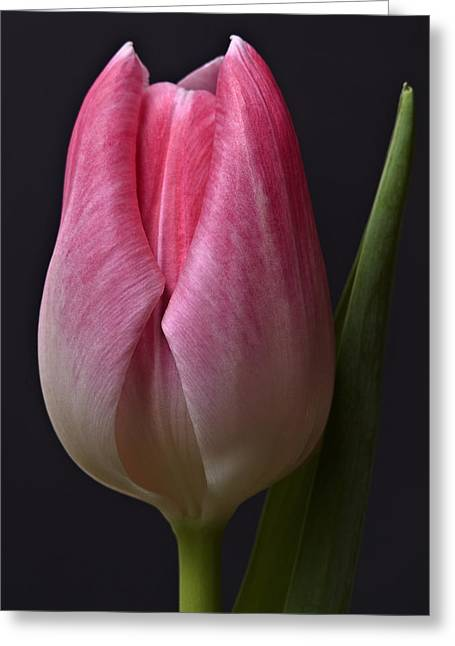 Orange Pink Red White Black Tulip Flower Art Work Photograph Greeting Card by Artecco Fine Art Photography
