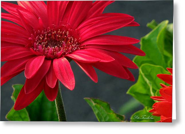 Spring Red Greeting Card by Pete Trenholm