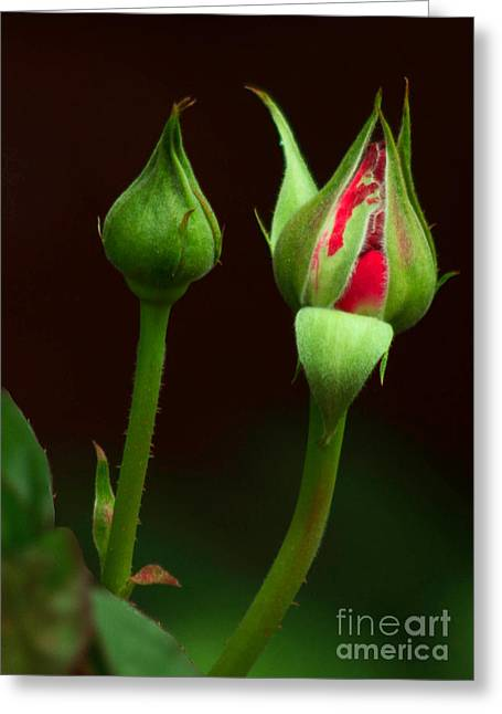 Spring Rose Bud Greeting Card