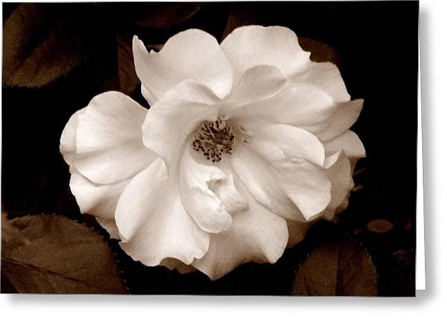 'spring Rose' Greeting Card