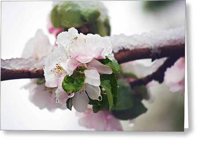 Spring Snow On Apple Blossoms Greeting Card by Lisa Knechtel