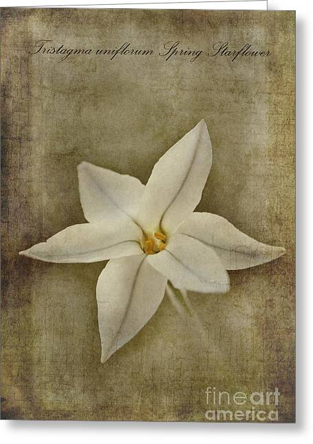 Spring Starflower Greeting Card