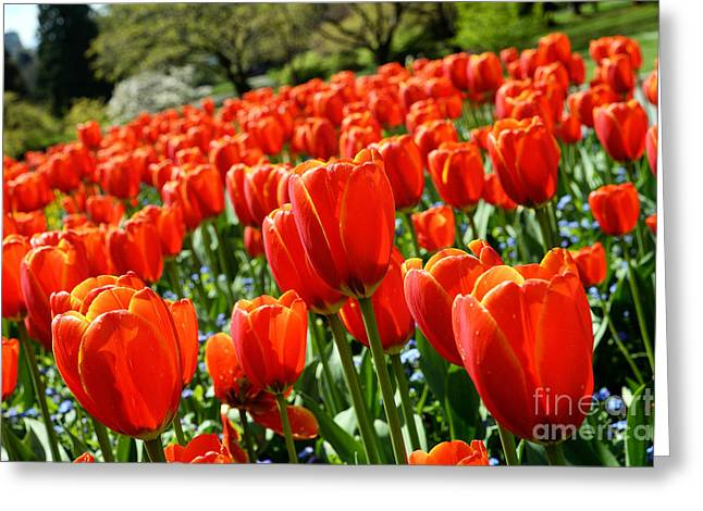 Spring Time Tulips 3 Greeting Card by Terry Elniski