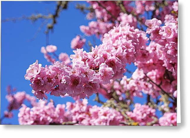 Spring Tree Blossoms Pink Flowering Trees Greeting Card by Baslee Troutman