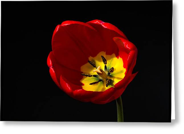 Spring Tulip 2 Greeting Card