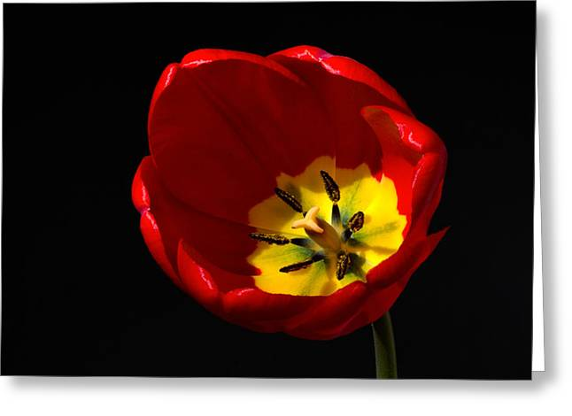 Spring Tulip 1 Greeting Card