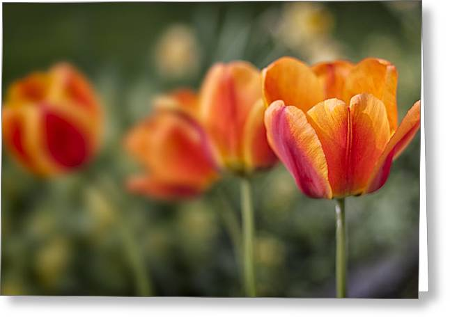 Spring Tulips Greeting Card by Adam Romanowicz