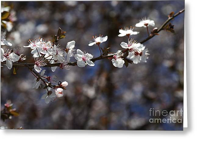 Spring White Blossom Greeting Card