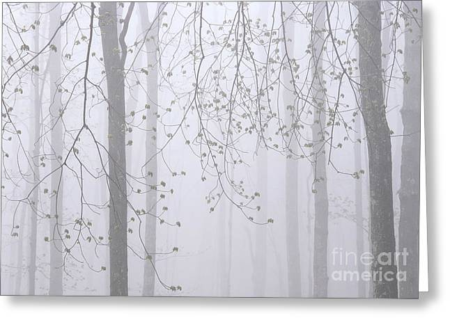 Spring Woodland Fog 2 Greeting Card