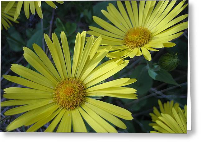 Greeting Card featuring the photograph Spring Yellow  by Cheryl Hoyle